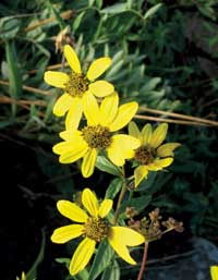 Photo of yellow daisy like flowers