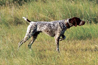 image of a Pointer dog
