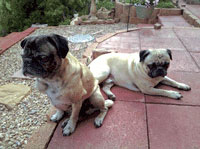Buzz and Brutus the Pug Dogs on the patio.