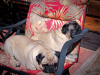 Buzz and Brutus the Pug Dogs.