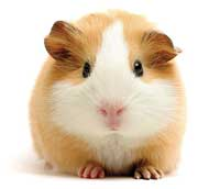 guinea pic photo