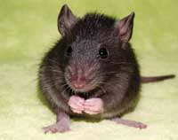 pet rat photo