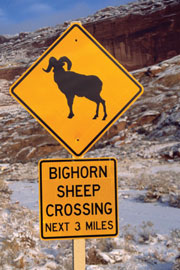 Arches NP Big Horn Sheep crossing
