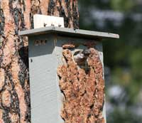 Lewis Woodpecker at nesting box