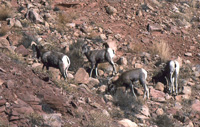 Bighorn herd photo by Damian Fagan