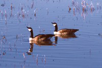 Photo of a couple of Canadian Geese in the water