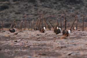 Sage Grouse Lek - Damian Fagan photo