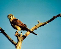 Photo of a female kestral bird