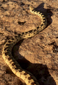 Photo of a gohper snake