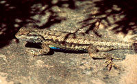 Sagebrush lizard photo