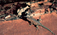 Photo of a side blotched lizard