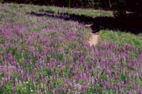 Picture of Soda Creek Lupine, a field of flowers!