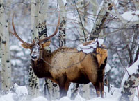 Photo of a Bull Elk in the snow and trees