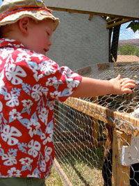 Little boy visiting chickens